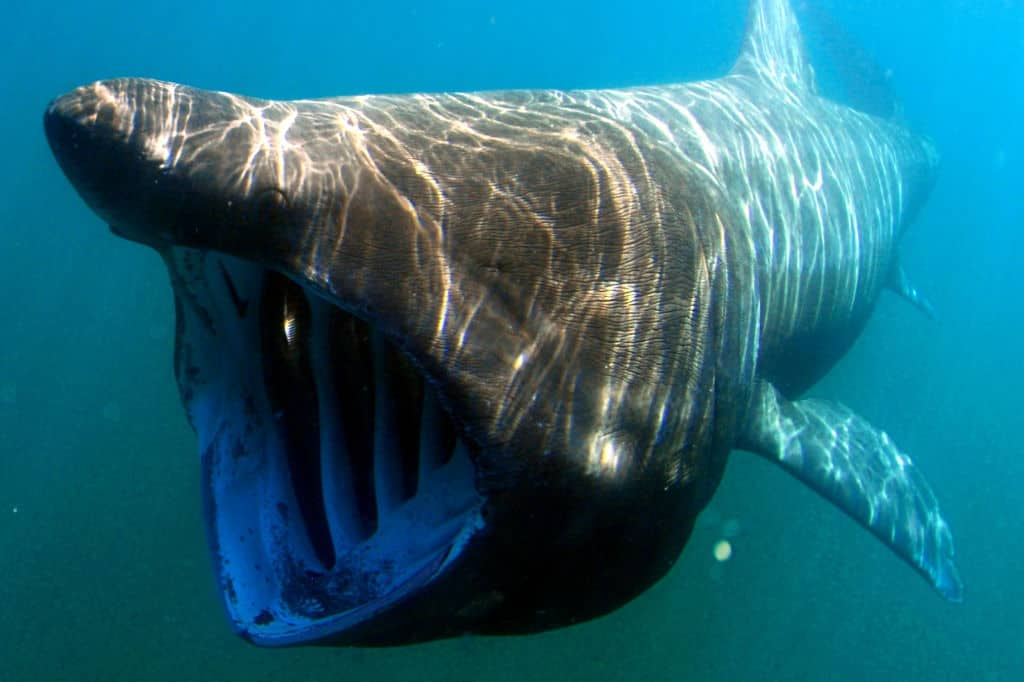 Basking Shark with Open Mouth swimming and feeding