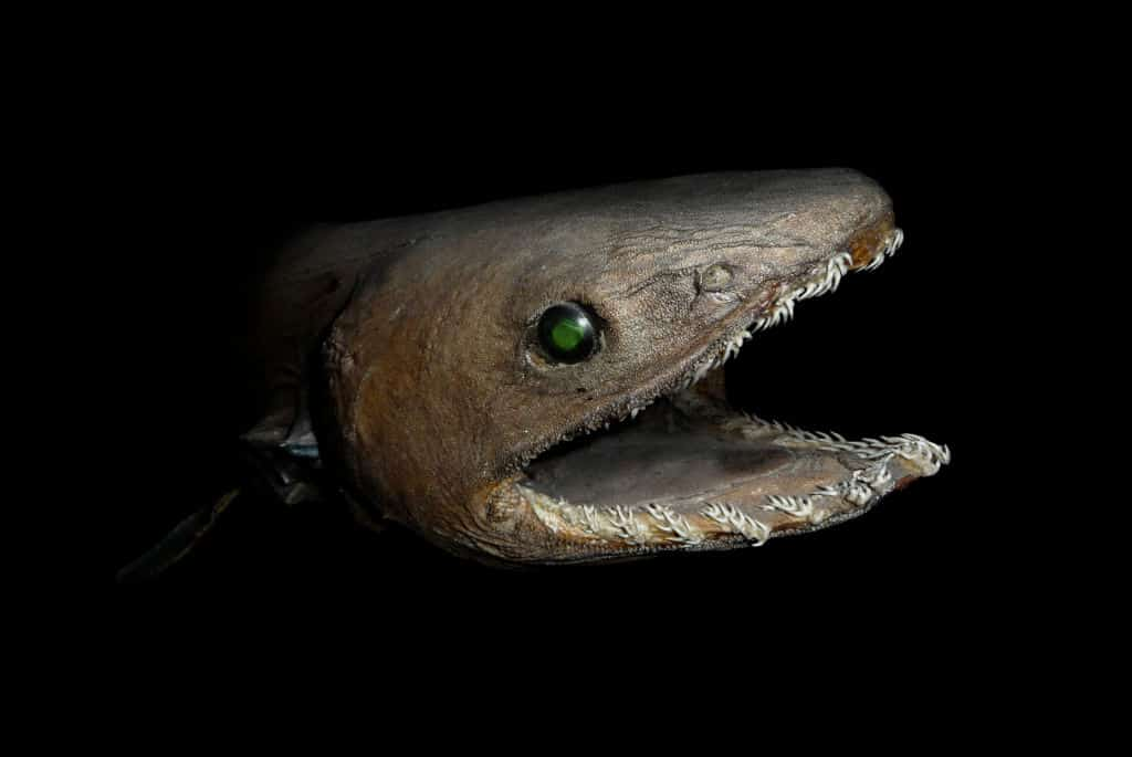 Frilled Shark with open mouth showing teeth
