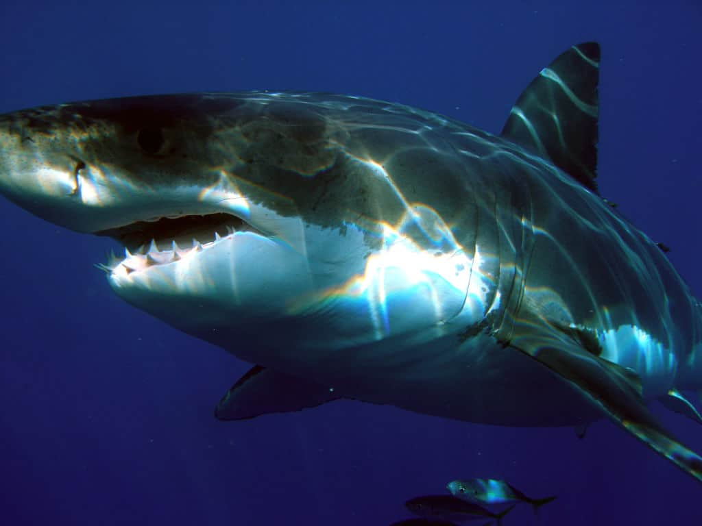 Great White Shark with open mouth showing teeth