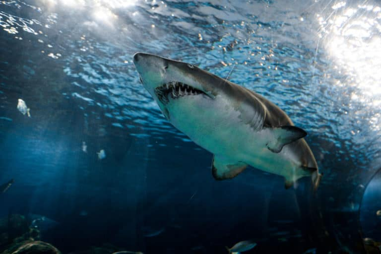 Read more about the article How Many Teeth Do Sharks Have? (with 13 examples)