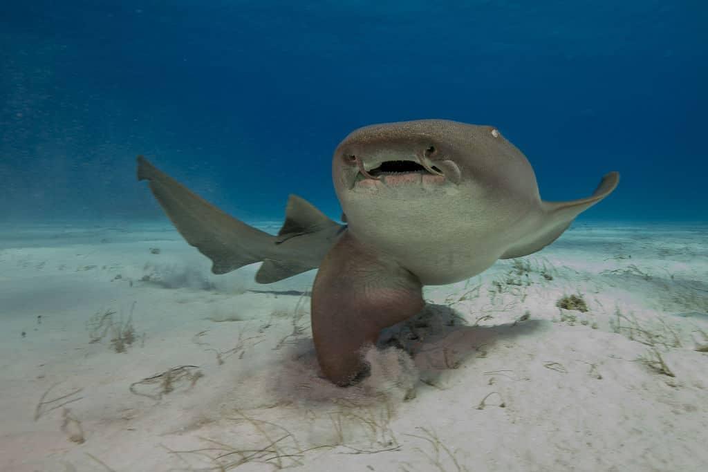 Nurse Shark swimming