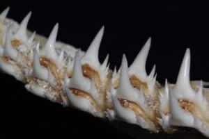 Sand Shark Teeth example