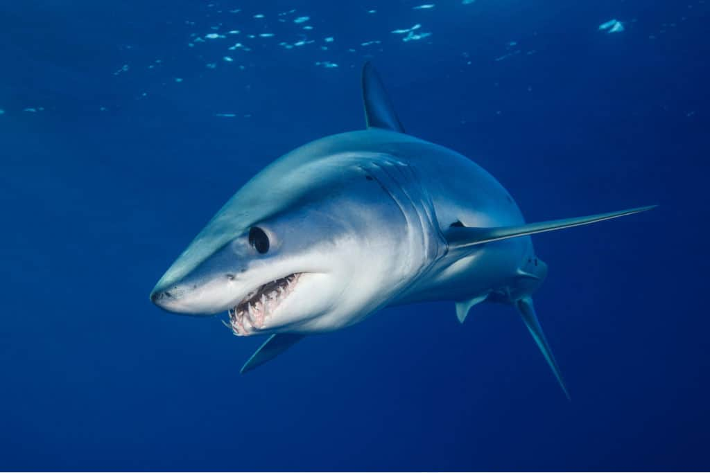 Shortfin Mako Shark with open mouth showing teeth