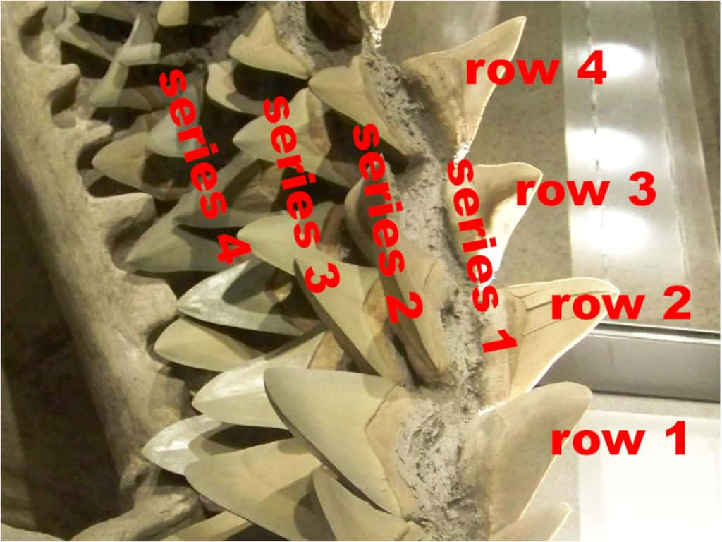 shark teeth with marked rows and series