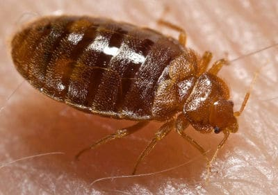 Bed bug on skin up close