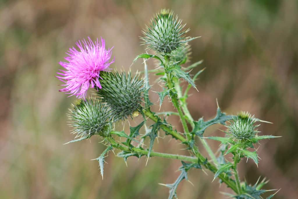 Meadow-Plant, weeds